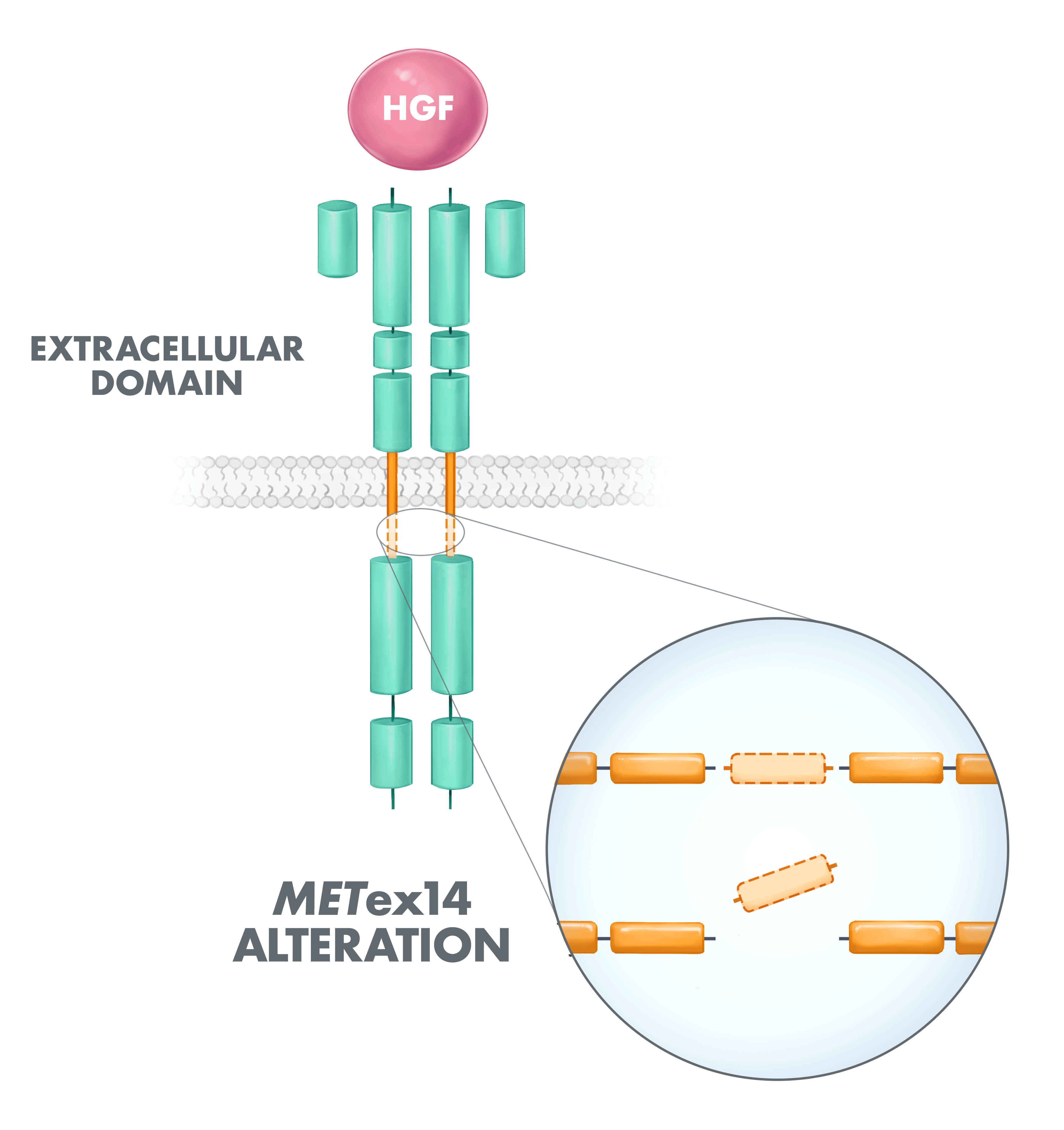 METex14 diagram